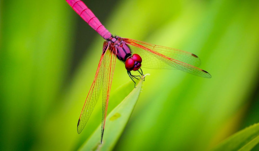 Dragonfly or Damselfly Totem Meaning