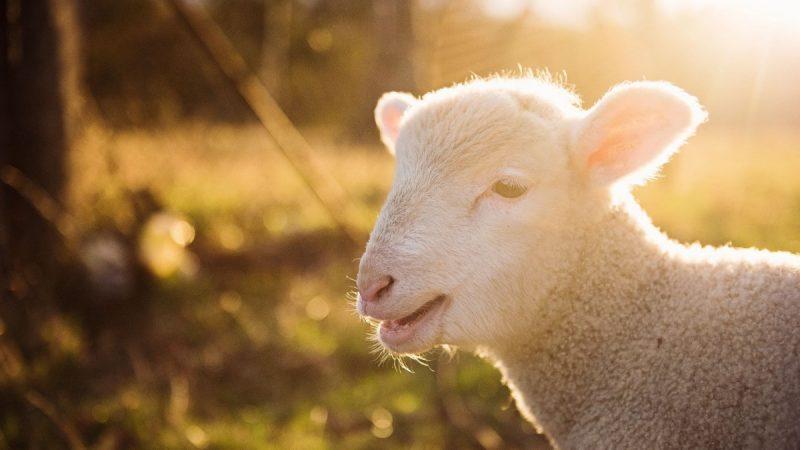 Spring Symbolism Lambs